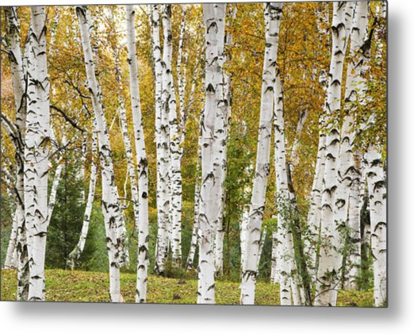 Golden Birches Metal Print