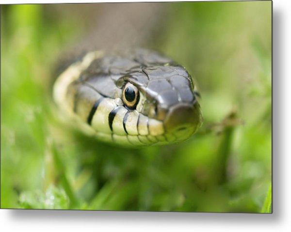 Grass Snake Metal Print by Adrian Bicker