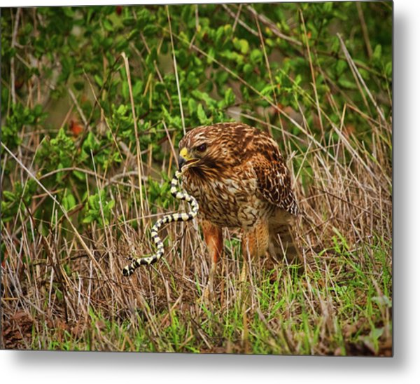 Hawk And Snake Metal Print