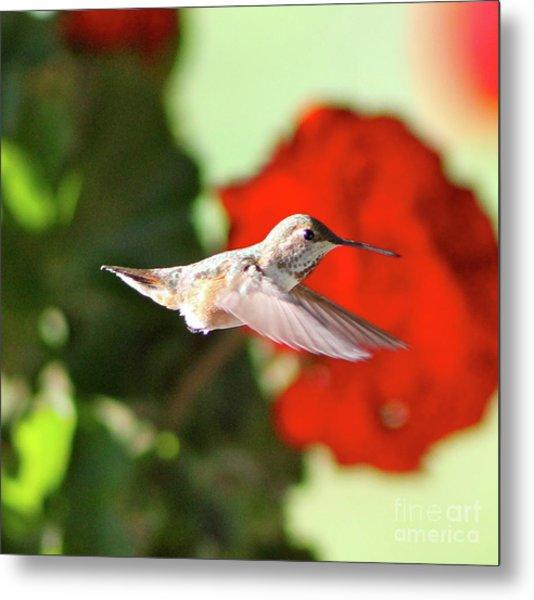 Hummingbird 4 Metal Print