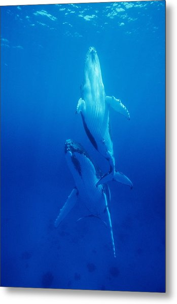 Humpback Whale Mother And Calf Metal Print by Alexis Rosenfeld