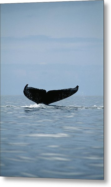 Humpback Whale Tail Metal Print by Alexis Rosenfeld