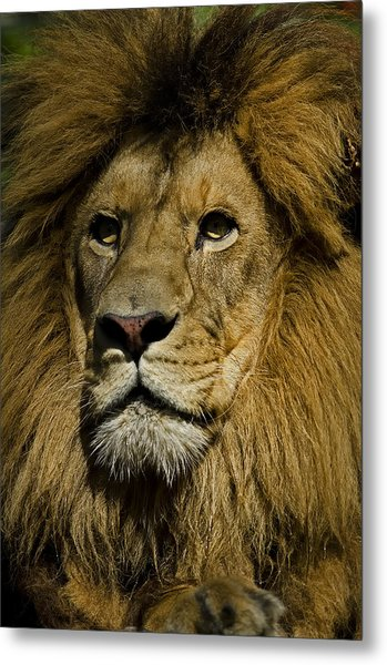 Lion Portrait Metal Print
