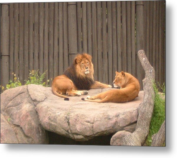 Lions - The Happy Couple Relaxing - Cleveland Metro Zoo 1 Metal Print by S Taylor