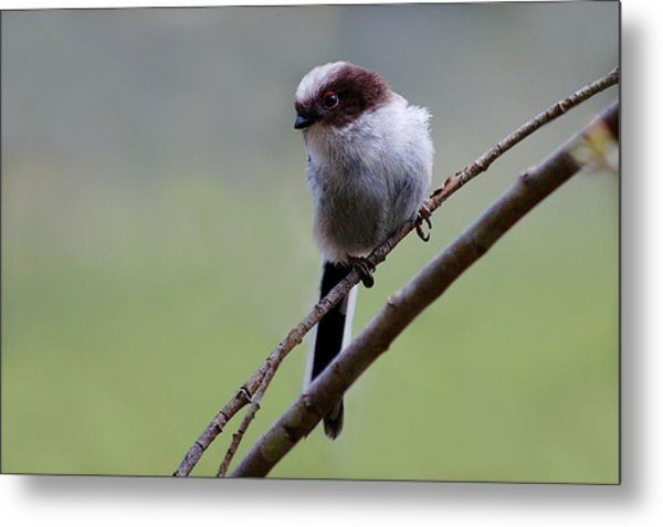 Long Tailed Tit Metal Print