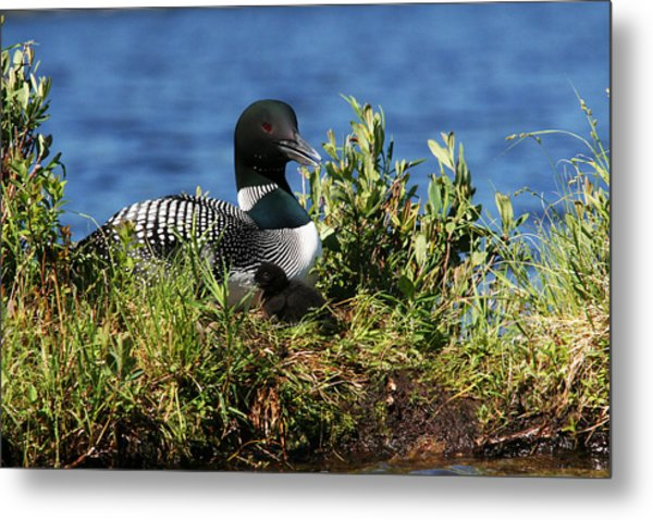 Loon And New Born Chick Metal Print