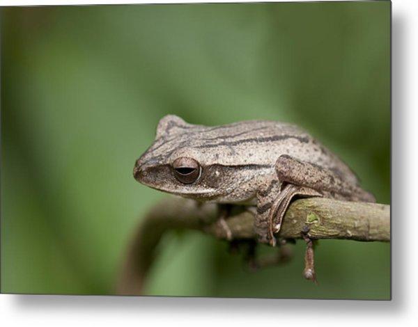 Malaysia Frog Metal Print