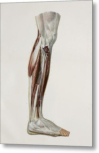 Nerves Of The Lower Leg, 1844 Artwork Metal Print