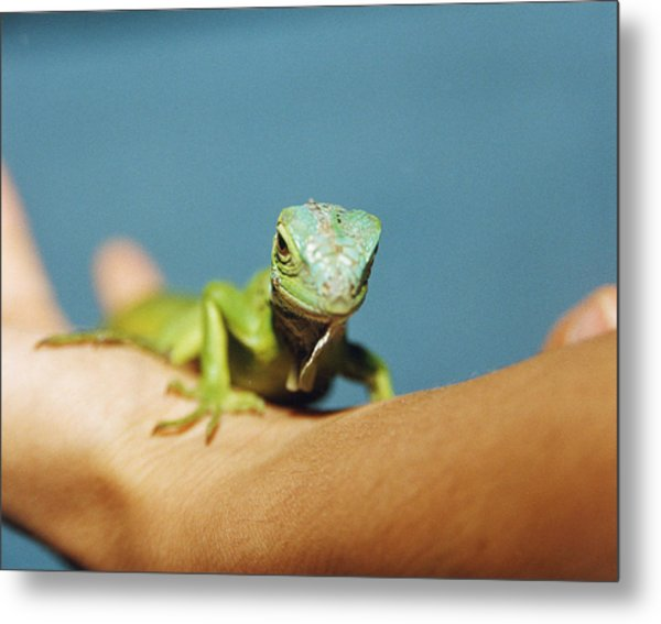Pet Iguana Metal Print by Cristina Pedrazzini