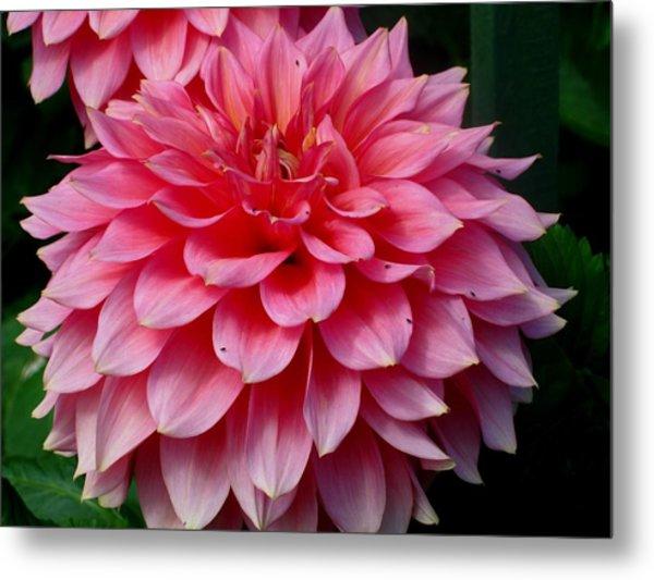 Pink Flowers Metal Print by Kathy Long