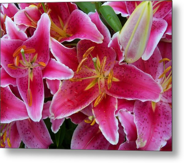 Pink Lilies With Water Droplets Metal Print