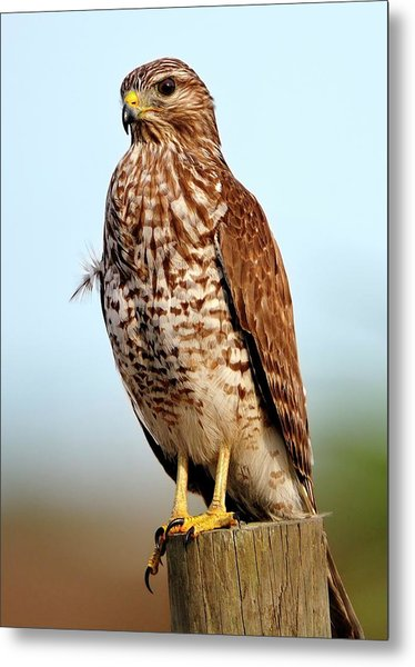 Portrait Of A Red Shouldered Hawk Metal Print