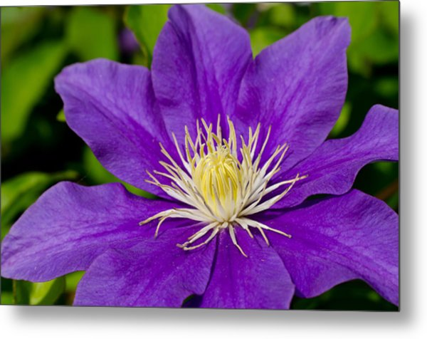 Purple Clematis Flower Metal Print