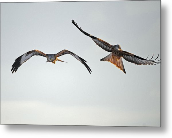 red Kites. Metal Print by Andrew Chittock