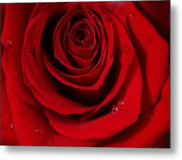 Red Rose Of Love  Metal Print