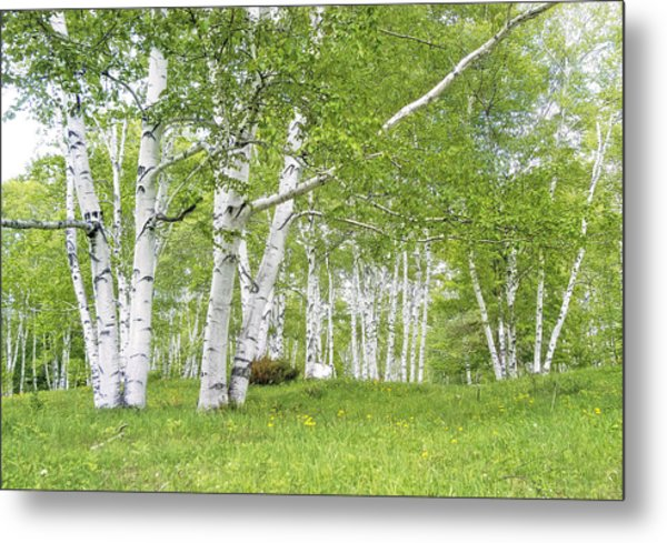 Spring Birches Metal Print