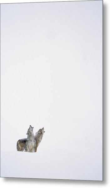 Timber Wolf Pair Howling In Snow North Metal Print