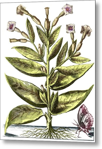 Tobacco Plant, 17th Century Artwork Metal Print by Middle Temple Library