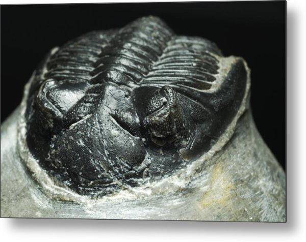 Trilobite Fossil Metal Print by Lawrence Lawry