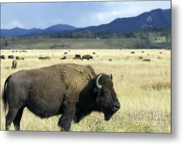 Wild Buffalo In Teton National Park Metal Print