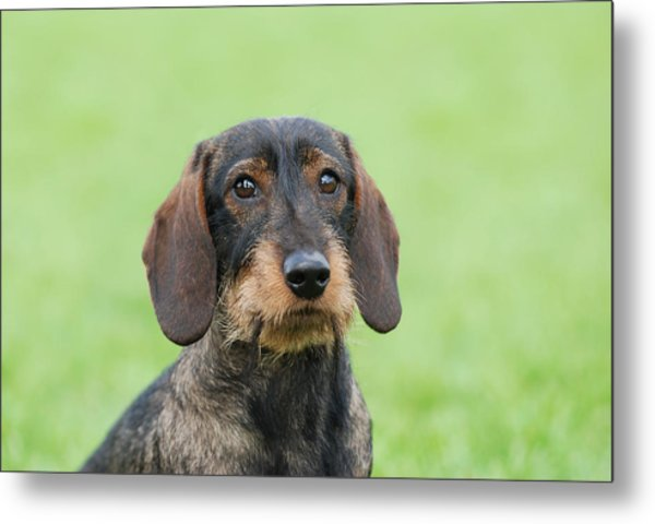 Wire-haired Dachshund Dog  Metal Print by Waldek Dabrowski