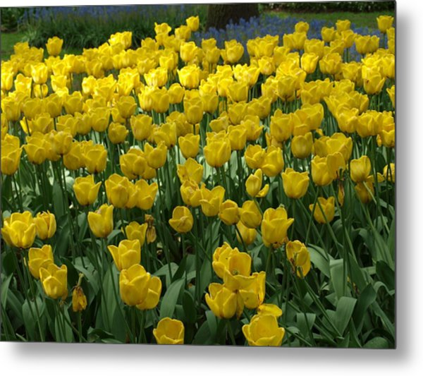 Yellow Tulips 2 Metal Print by Larry Krussel