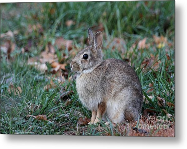Eastern Cottontail Rabbit Metal Print