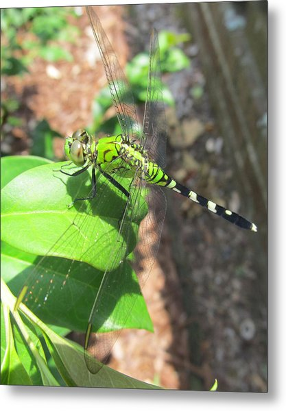Dragonfly Metal Print by Michele Caporaso