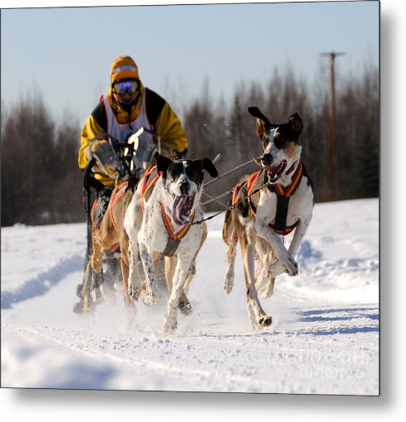 2011 Limited North American Sled Dog Race Metal Print