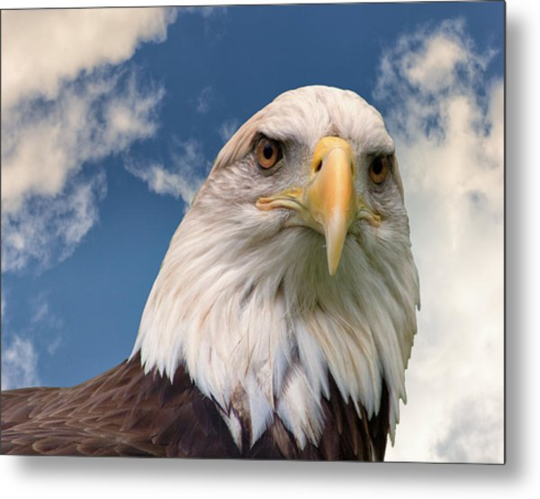 American Bald Eagle Metal Print by Ken Wolter