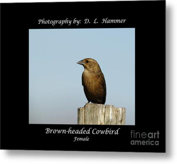Brown-headed Cowbird Metal Print by Dennis Hammer