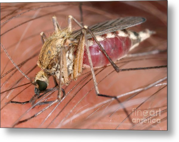 Mosquito Biting A Human Metal Print