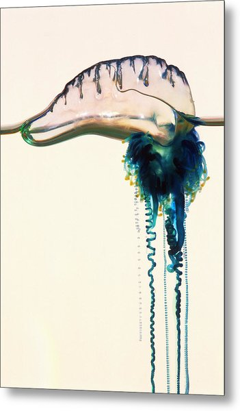 Portuguese Man-of-war Metal Print by Georgette Douwma