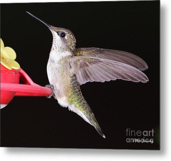 Ruby Throated Hummingbird Metal Print by Steve Javorsky