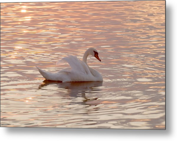 Swan In The Lake Metal Print