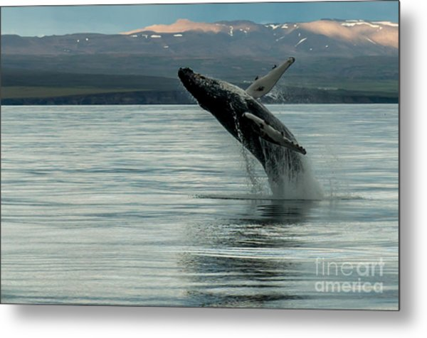 Whale Jumping Metal Print