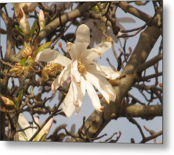 White Magnolias Metal Print by Alfred Ng