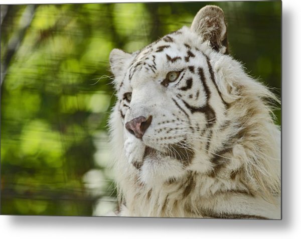 White Tiger Metal Print