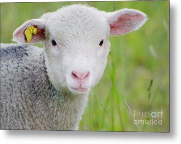 Young Sheep Metal Print