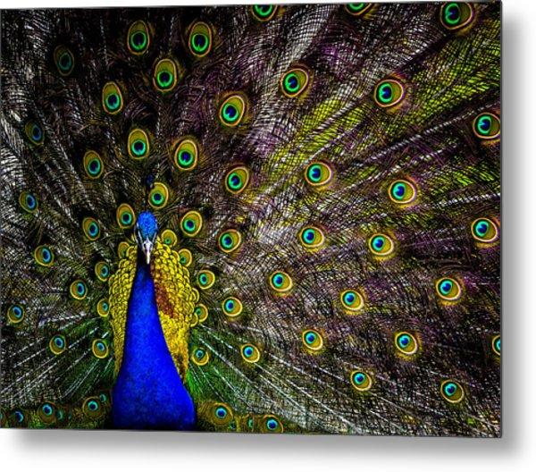 Peacock Metal Print by Brian Stevens