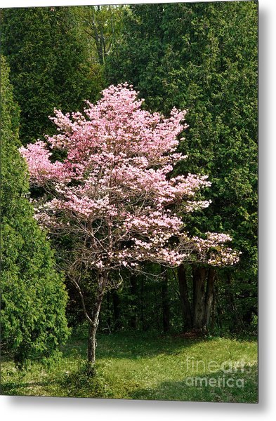 Cherry Blossoms Metal Print by HD Connelly