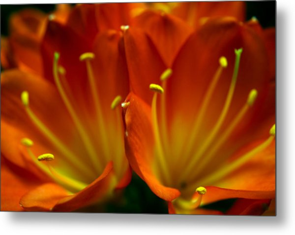 Clivia Bloom Metal Print by PIXELS  XPOSED Ralph A Ledergerber Photography
