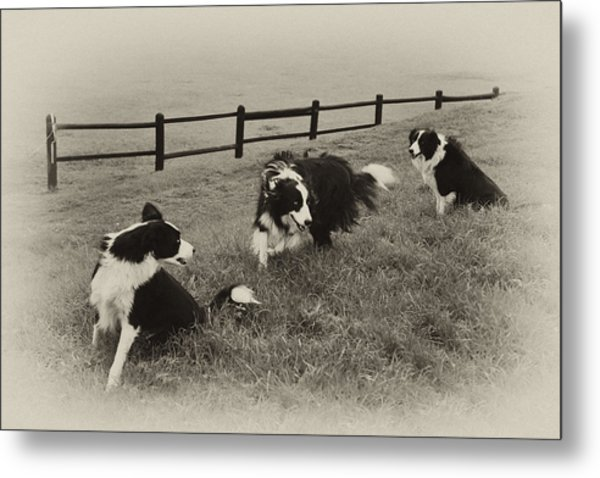 3 Collies Metal Print by Miguel Capelo