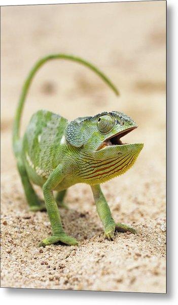Flap-necked Chameleon Metal Print by Georgette Douwma