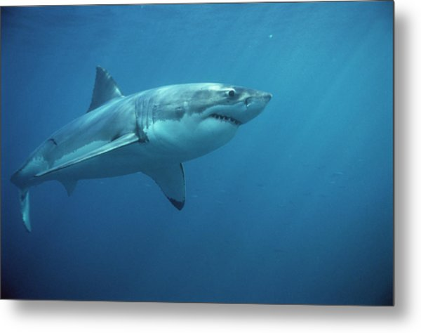 Great White Shark Carcharodon Metal Print