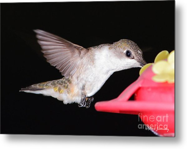 Ruby Throated Hummingbird Metal Print by Steve Javorsky