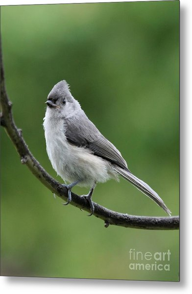 Tufted Titmouse Metal Print by Jack R Brock
