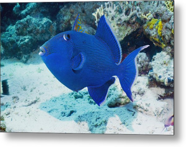 Blue Triggerfish Metal Print by Georgette Douwma
