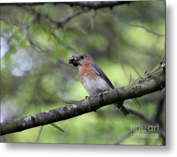 Eastern Bluebird Metal Print by Jack R Brock