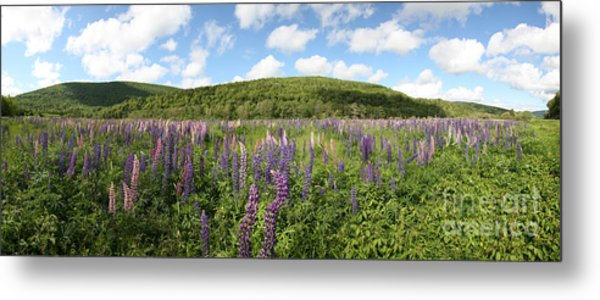 A Field Of Lupines Metal Print